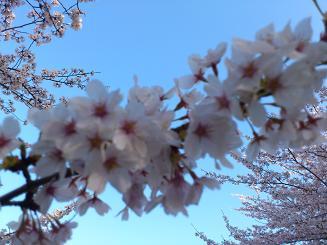 桜4.12.3.JPG