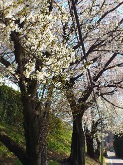 桜4.8.2.JPG