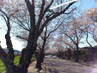 桜4.8.4.JPG